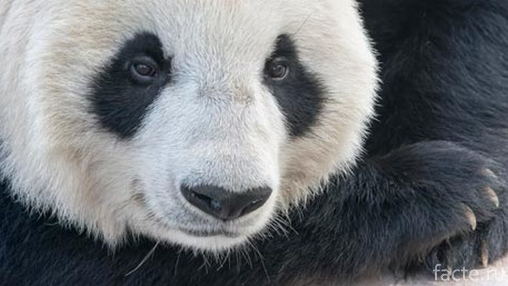 Панда крупным планом