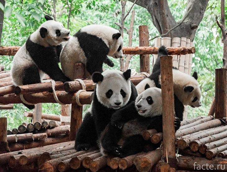Много панд