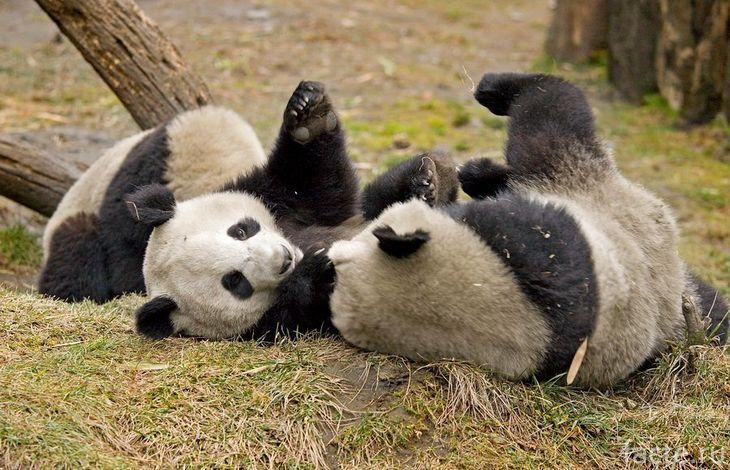 Панды валяются на траве