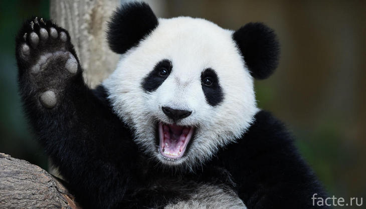 Веселая панда машет лапкой