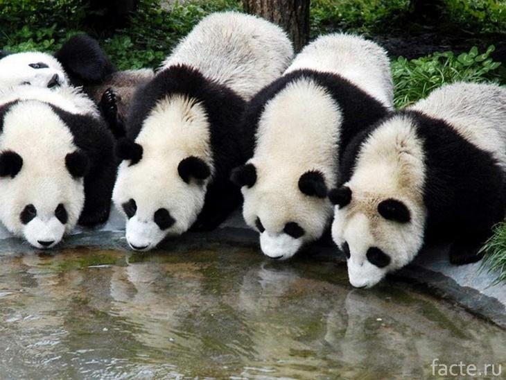 Панды на водопое
