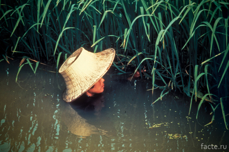 Главная причина насыщения риса мышьяком – вода