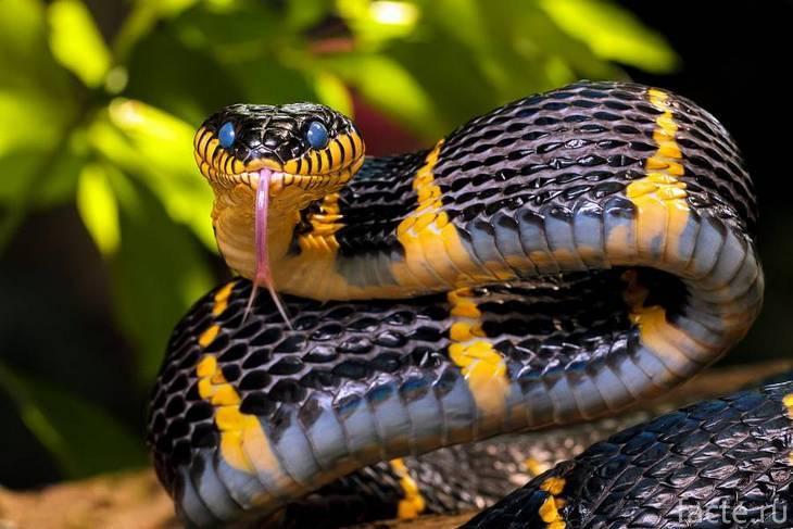 Черно-желтая полосатая змея