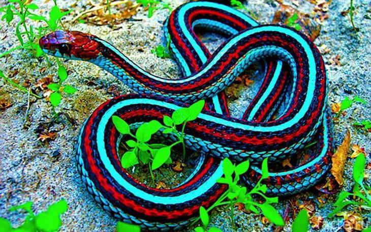 Красивая разноцветная змея