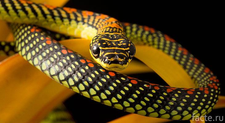 Черно-желтая змея
