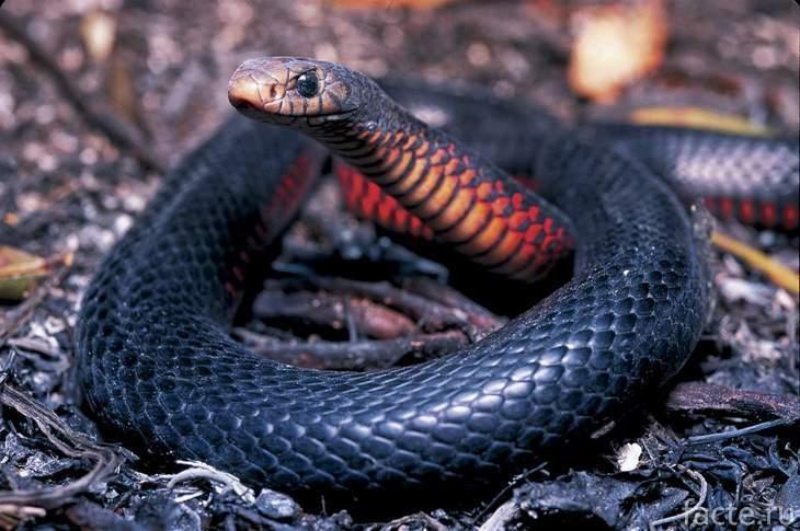 Черно-красная змея