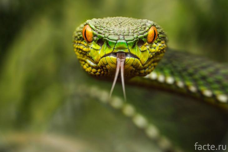 Зеленая змея. Угрожающий взгляд