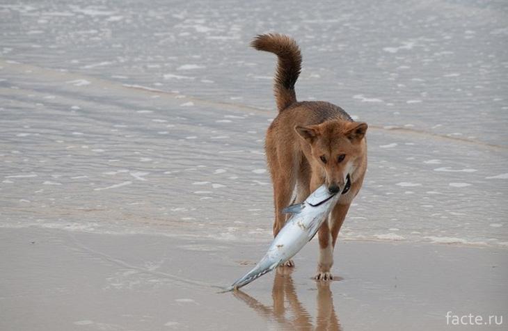 Дикая собака