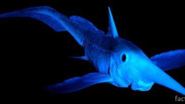 Рыба-химера