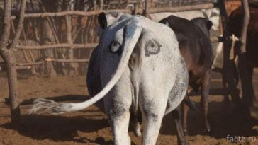 Ботсванская корова
