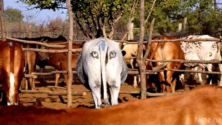 Глаза на корове