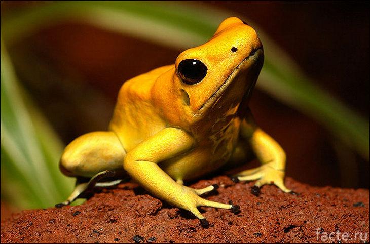 Золотистая дротиковая лягушка