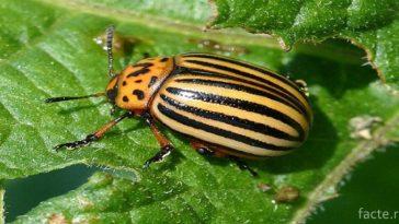 История колорадского жука