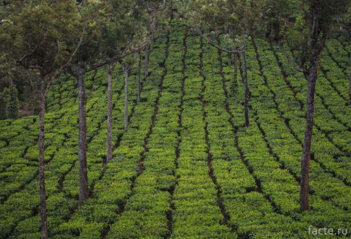 Геометрия чайных полей