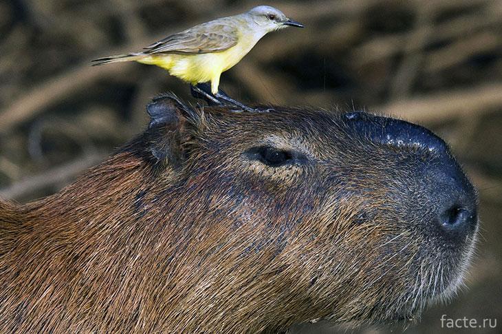 Капибара с птицей
