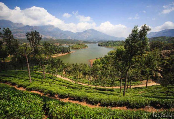 Чайная плантация. Индия