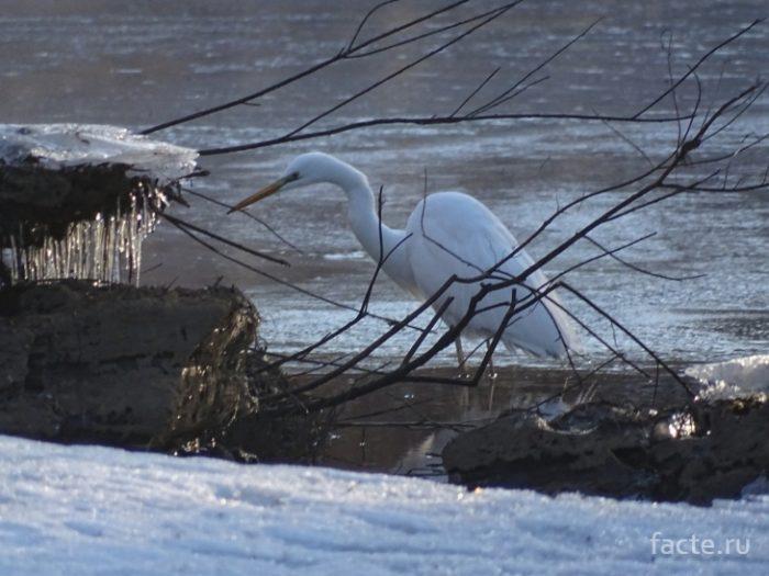 цапля на снегу