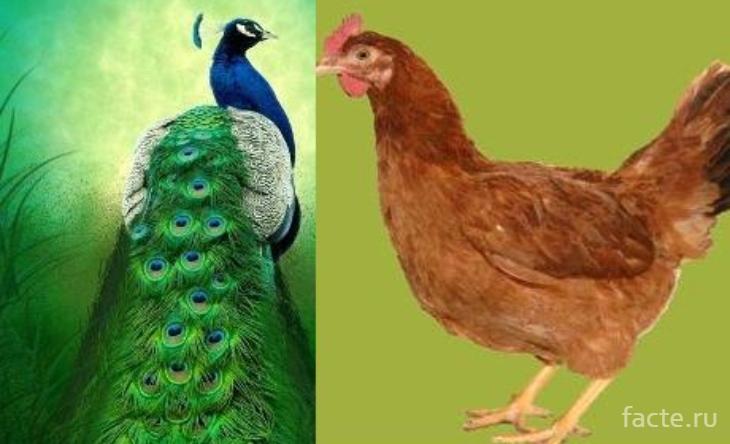 павлин и курица