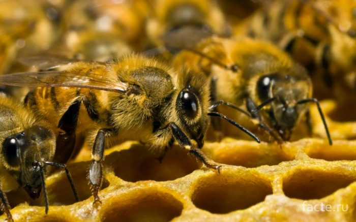 пчелы охлаждатели