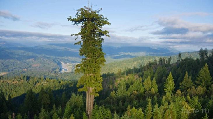 самое высокое дерево