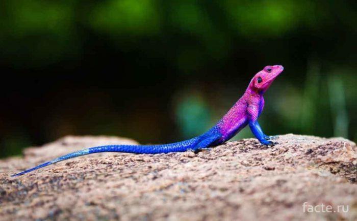 ящерица цветная