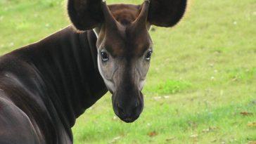жираф 4
