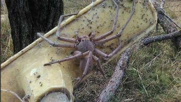 Австралийский паук