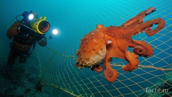 осьминог в сети