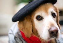 Собака в бирете
