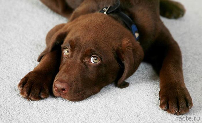 Пес на ковре