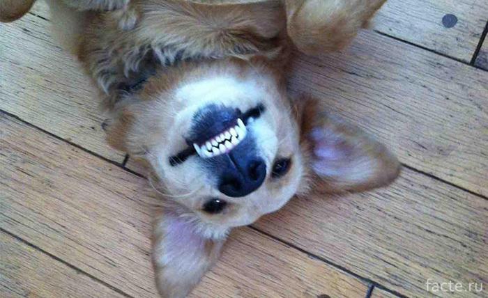 """Пес """"улыбается"""""""