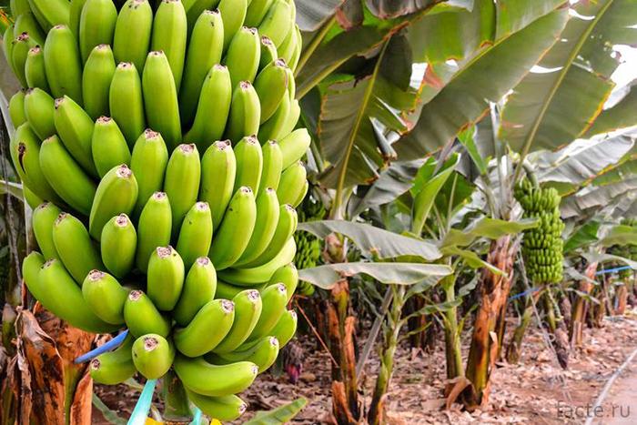 Ветки с бананами