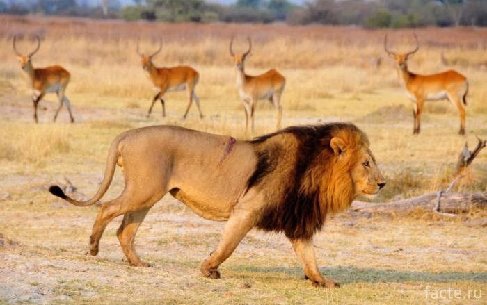 Лев или львица?