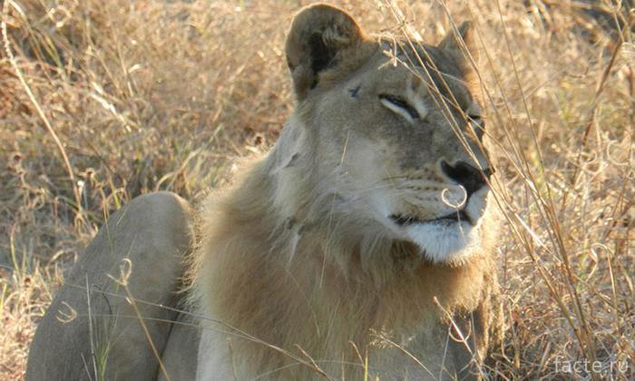 Львица в дикой природе