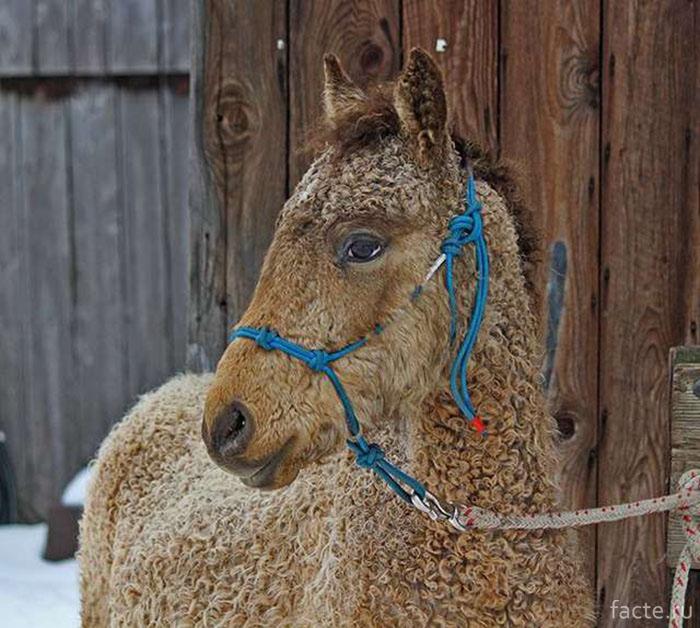 Кучерявые породы лошадей