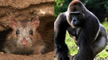 Крыса и примат