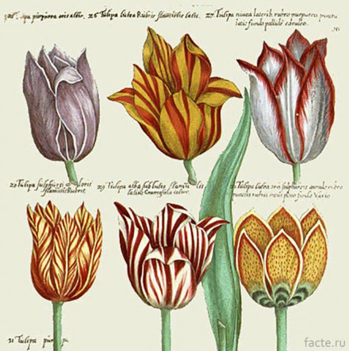 Тюльпаны-разных-видов,-рисунок-1647-года