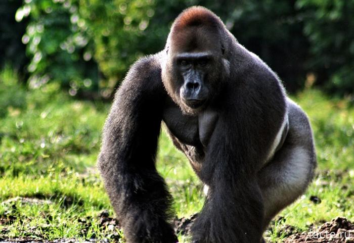 Высшие-приматы