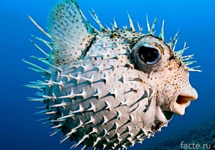 рыба-собачка