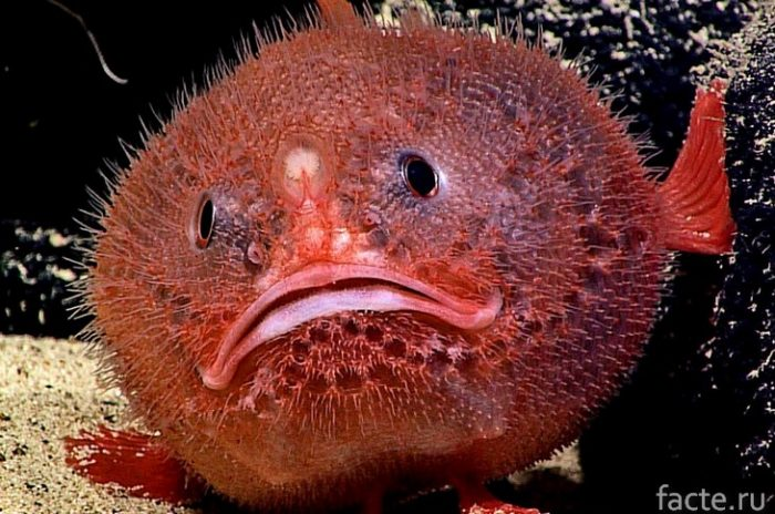 рыба-гром