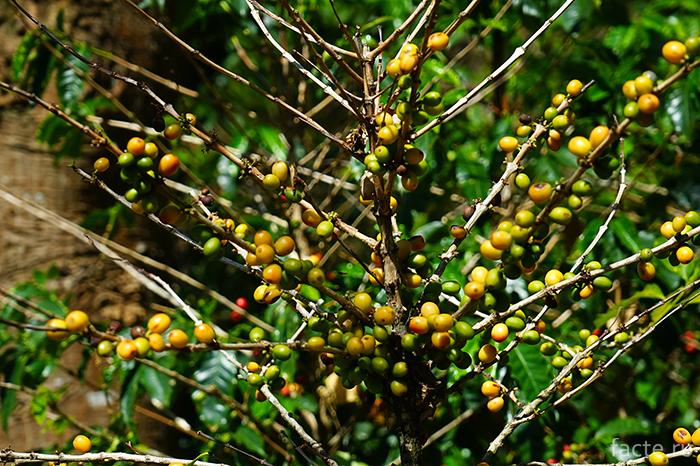 Ветки с ягодами кофе