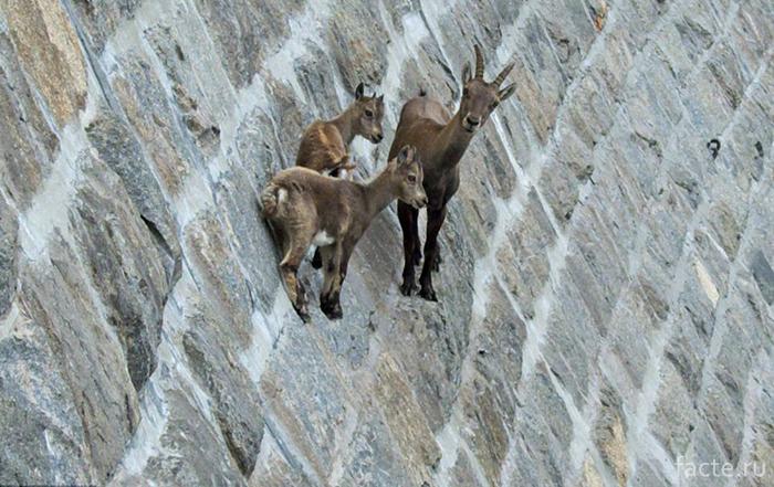Горные козлы - ибексы, или козероги