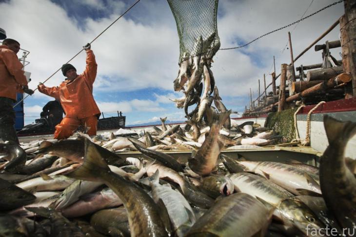 добыча лосося