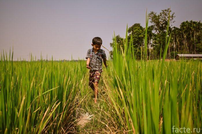 индийские поля