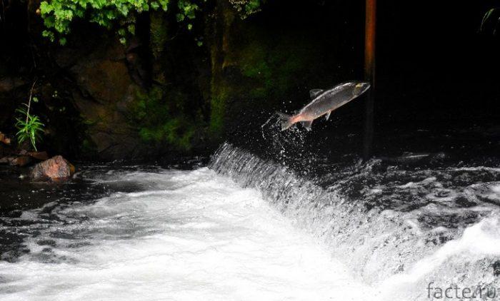 лосось в воде