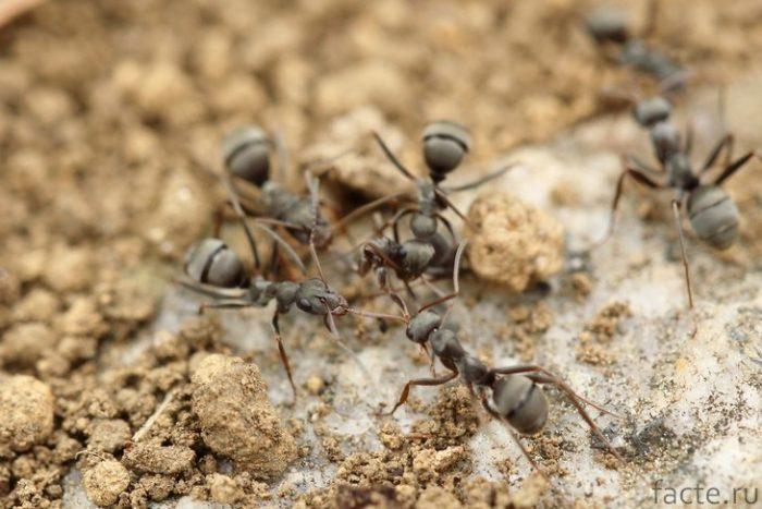 муравьи большеголовые