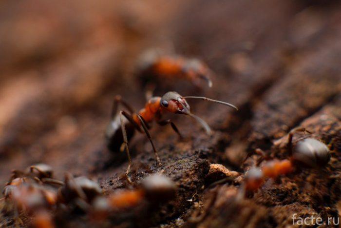 муравей