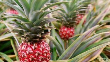 Красный ананас
