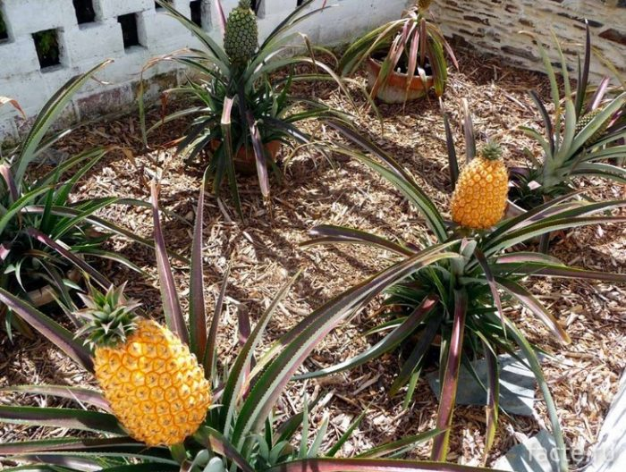 ананасы в британском саду