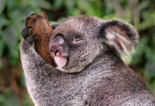 коала во сне